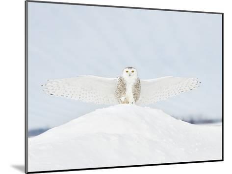 Owl in Flight III-PHBurchett-Mounted Art Print