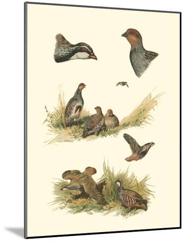 Partridge--Mounted Art Print