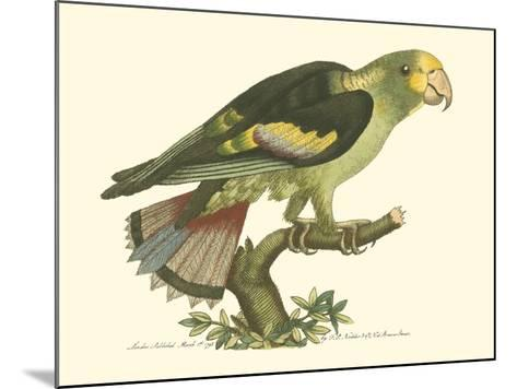 Black-Winged Parakeet--Mounted Art Print