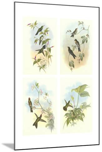 Miniature Gould Hummingbirds--Mounted Art Print