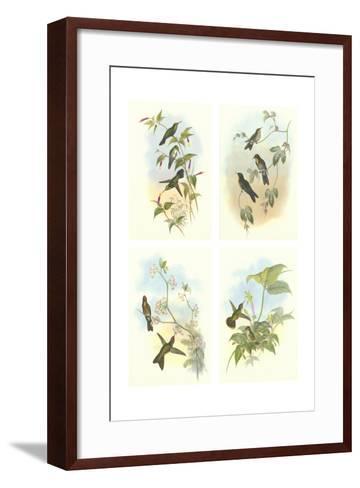 Miniature Gould Hummingbirds--Framed Art Print