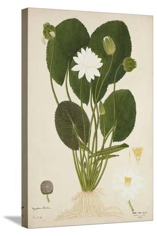 Nymphaea Lotus Linn, 1800-10--Stretched Canvas Print