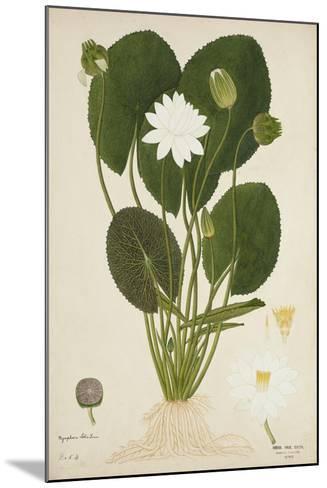 Nymphaea Lotus Linn, 1800-10--Mounted Giclee Print
