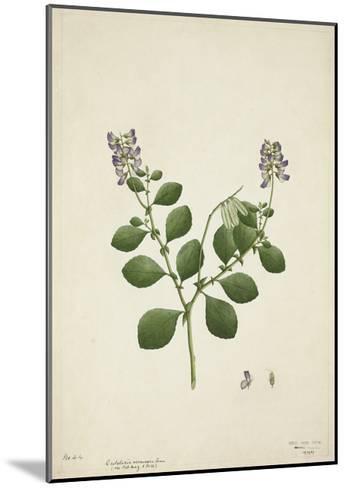 Crotolaria Verrueosa Linn, 1800-10--Mounted Giclee Print