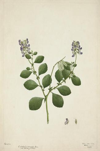 Crotolaria Verrueosa Linn, 1800-10--Stretched Canvas Print
