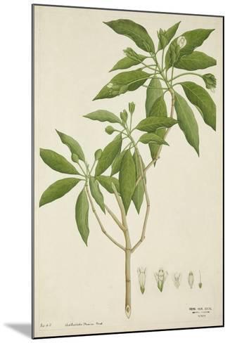 Adhatoda Vasica Nees, 1800-10--Mounted Giclee Print