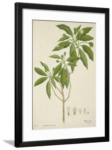 Adhatoda Vasica Nees, 1800-10--Framed Art Print