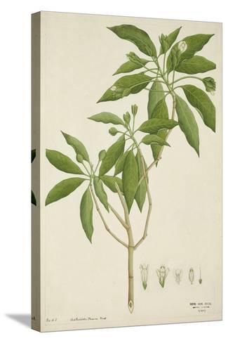 Adhatoda Vasica Nees, 1800-10--Stretched Canvas Print