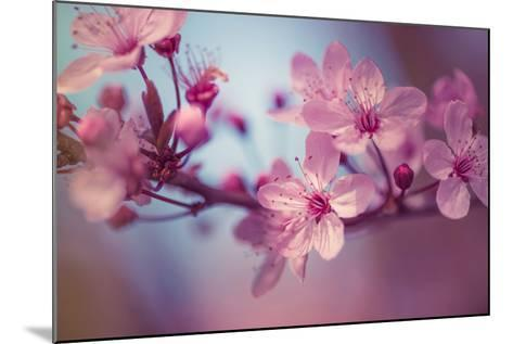 Cherry Blossums 1-Philippe Sainte-Laudy-Mounted Photographic Print