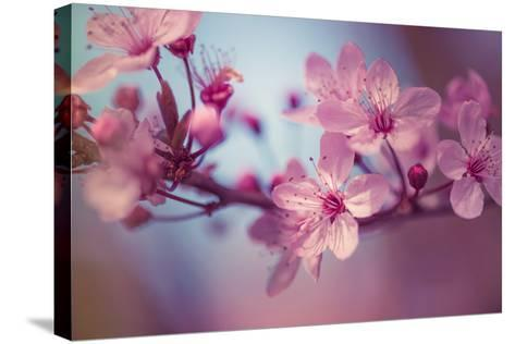 Cherry Blossums 1-Philippe Sainte-Laudy-Stretched Canvas Print