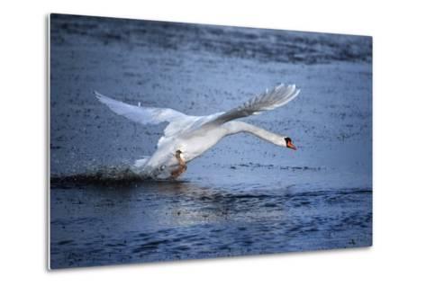 Mute Swan Landing-Marco Carmassi-Metal Print