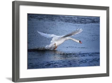 Mute Swan Landing-Marco Carmassi-Framed Art Print