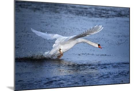 Mute Swan Landing-Marco Carmassi-Mounted Photographic Print