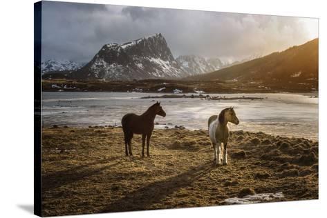 Lofoten Horses-Marco Carmassi-Stretched Canvas Print