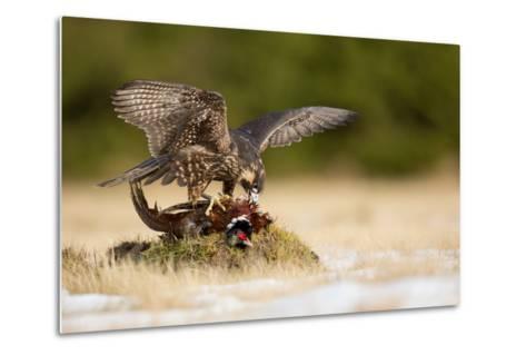 Peregrine Falcon-Milan Zygmunt-Metal Print