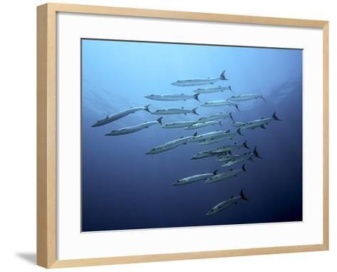 Barracudas-Henry Jager-Framed Art Print