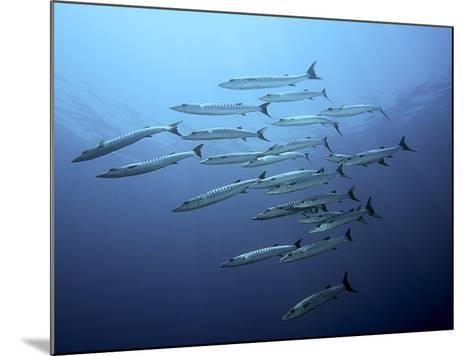 Barracudas-Henry Jager-Mounted Photographic Print