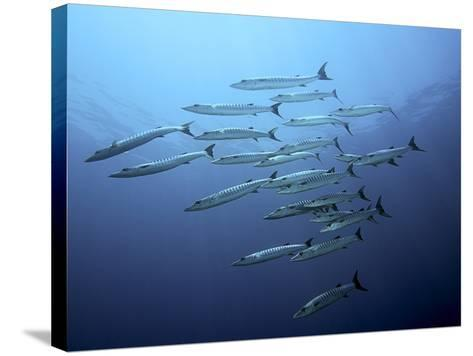 Barracudas-Henry Jager-Stretched Canvas Print