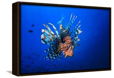 Lionfish-Barathieu Gabriel-Framed Canvas Print