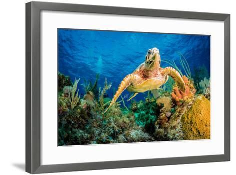Hawksbill Turtle Swimming Through Caribbean Reef-Jan Abadschieff-Framed Art Print