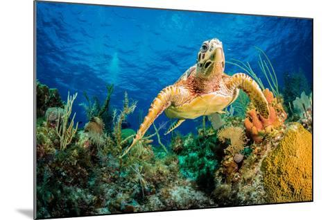 Hawksbill Turtle Swimming Through Caribbean Reef-Jan Abadschieff-Mounted Photographic Print