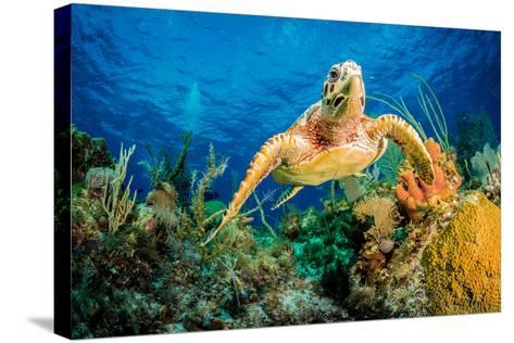 Hawksbill Turtle Swimming Through Caribbean Reef-Jan Abadschieff-Stretched Canvas Print