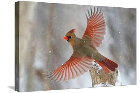 Snow Storm-Mircea Costina-Stretched Canvas Print