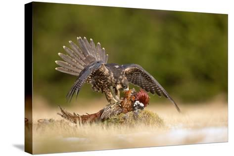 Peregrine Falcon-Milan Zygmunt-Stretched Canvas Print