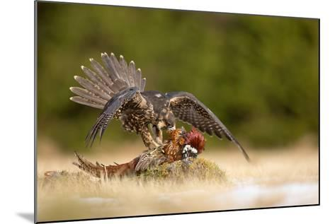 Peregrine Falcon-Milan Zygmunt-Mounted Photographic Print