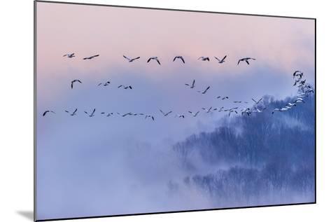Snow Geese-Austin Li-Mounted Photographic Print