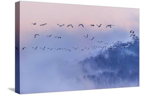 Snow Geese-Austin Li-Stretched Canvas Print