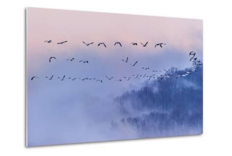 Snow Geese-Austin Li-Metal Print