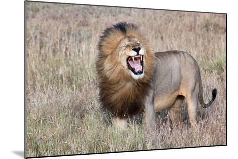 Lion-Alessandro Catta-Mounted Photographic Print
