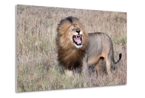 Lion-Alessandro Catta-Metal Print