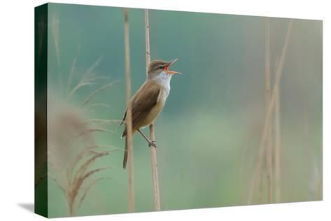 The Singer of the Reed-Valentino Alessandro-Stretched Canvas Print