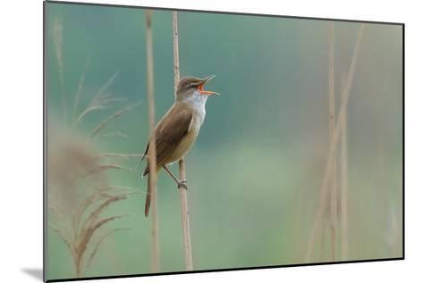 The Singer of the Reed-Valentino Alessandro-Mounted Photographic Print