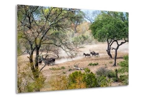 Awesome South Africa Collection - Zebras Migration in Savanna-Philippe Hugonnard-Metal Print