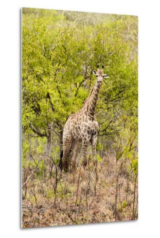 Awesome South Africa Collection - Giraffe-Philippe Hugonnard-Metal Print