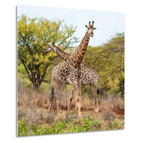 Awesome South Africa Collection Square - Crossing Giraffes-Philippe Hugonnard-Metal Print
