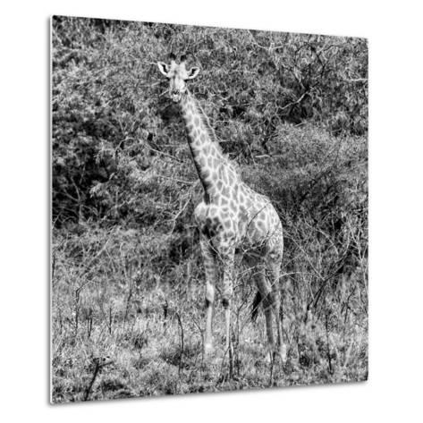 Awesome South Africa Collection Square - Giraffe Portrait II B&W-Philippe Hugonnard-Metal Print