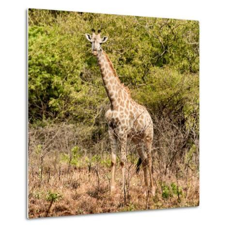 Awesome South Africa Collection Square - Giraffe Portrait II-Philippe Hugonnard-Metal Print