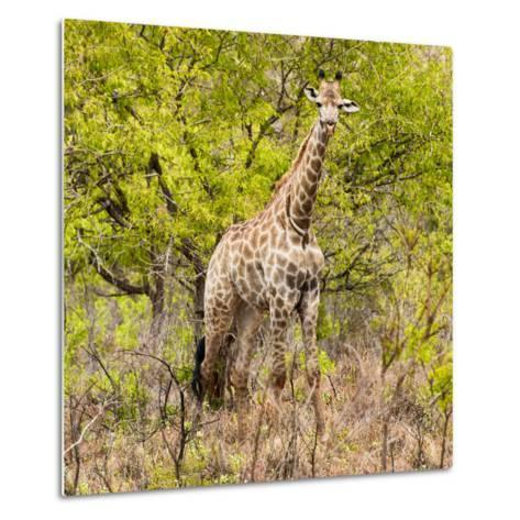 Awesome South Africa Collection Square - Giraffe Portrait III-Philippe Hugonnard-Metal Print