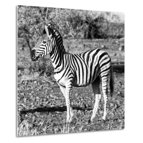Awesome South Africa Collection Square - Burchell's Zebra Profile B&W-Philippe Hugonnard-Metal Print