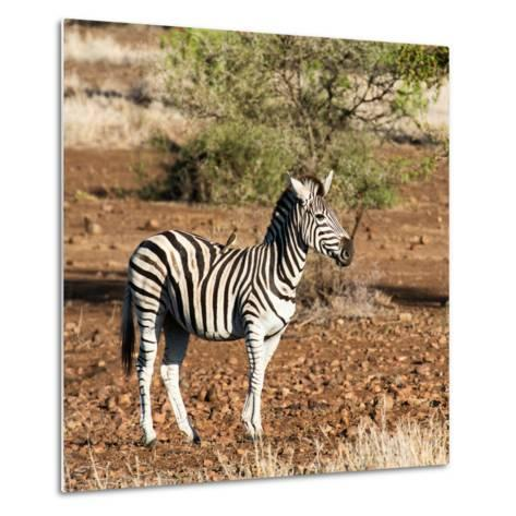 Awesome South Africa Collection Square - Burchell's Zebra with Oxpecker-Philippe Hugonnard-Metal Print