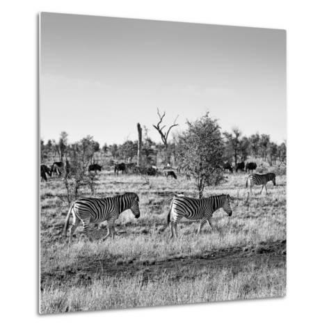 Awesome South Africa Collection Square - Herd of Zebra B&W-Philippe Hugonnard-Metal Print