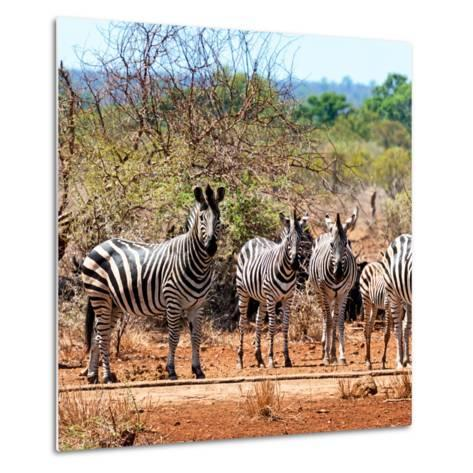 Awesome South Africa Collection Square - Herd of Zebra II-Philippe Hugonnard-Metal Print