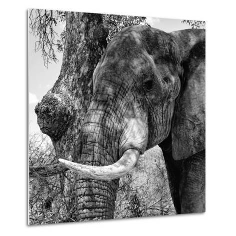 Awesome South Africa Collection Square - Close-Up of Elephant B&W-Philippe Hugonnard-Metal Print