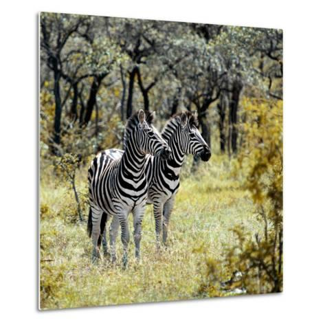 Awesome South Africa Collection Square - Two Common Zebras-Philippe Hugonnard-Metal Print