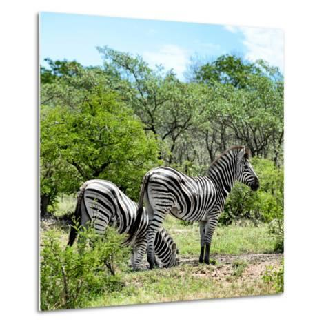 Awesome South Africa Collection Square - Two Burchell's Zebras II-Philippe Hugonnard-Metal Print
