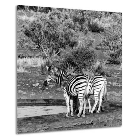 Awesome South Africa Collection Square - Two Burchell's Zebras III B&W-Philippe Hugonnard-Metal Print